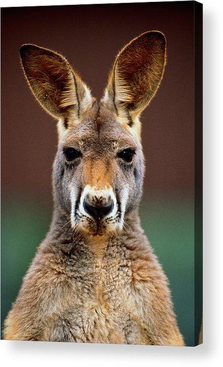 Animal Themes Acrylic Print featuring the photograph Kangaroo Macropus Sp., Head-shot by Art Wolfe