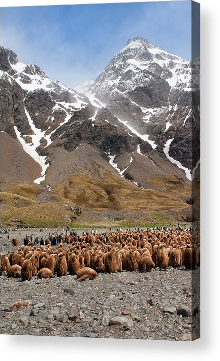 Scenics Acrylic Print featuring the photograph King Penguins Aptenodytes Patagonicus by Gabrielle Therin-weise