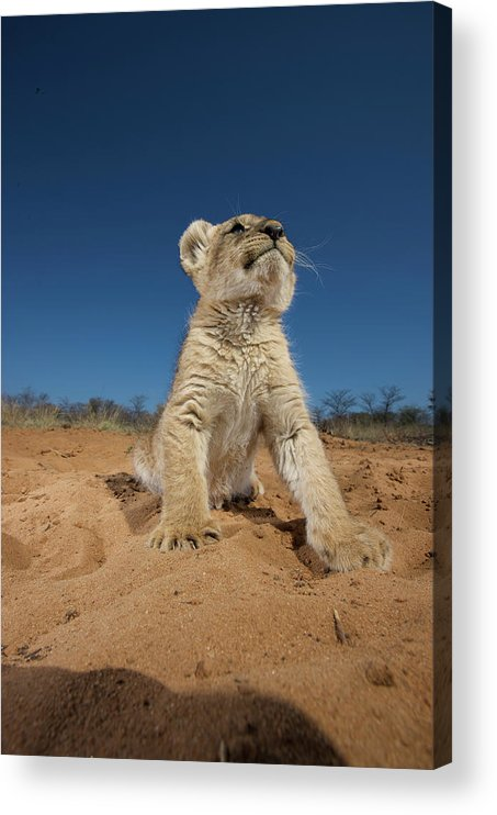 Big Cat Acrylic Print featuring the photograph Lion Cub Panthera Leo Sitting On Sand by Heinrich Van Den Berg