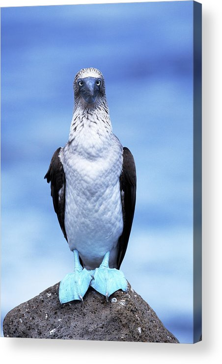 Animal Themes Acrylic Print featuring the photograph Masked Booby Sula Dactylatra Galapagos by Art Wolfe