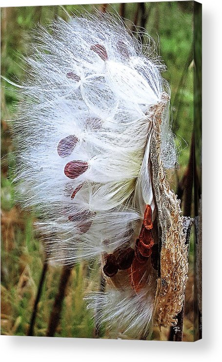 Nature Acrylic Print featuring the photograph Milkweed by Tom Romeo