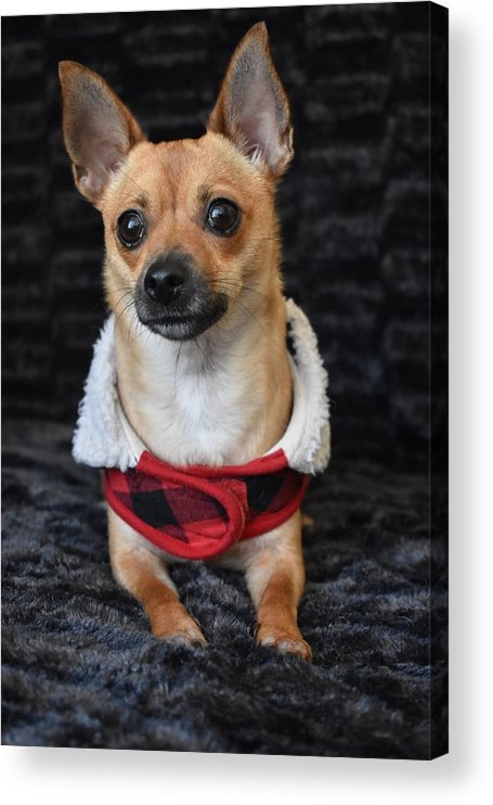 Chihuahua Acrylic Print featuring the digital art Miracle by Cassidy Marshall