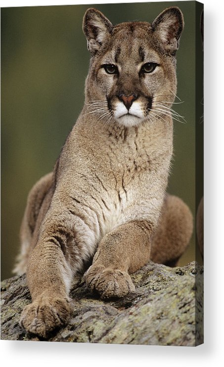 Vertebrate Acrylic Print featuring the photograph Mountain Lion Or Cougar, Felis by Mike Hill