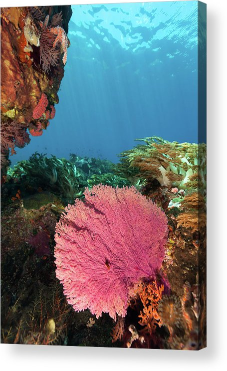 Underwater Acrylic Print featuring the photograph Pink Gorgonian Sea Fan, Pura Island by Ifish