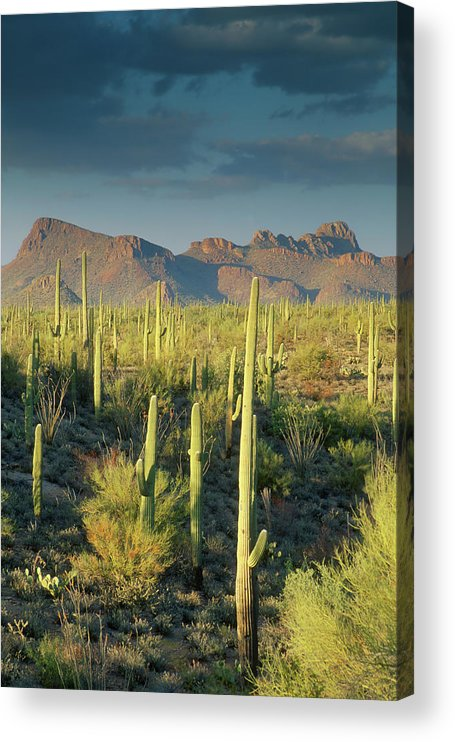 Saguaro Cactus Acrylic Print featuring the photograph Saguaro Cactus In Sonoran Desert And by Kencanning
