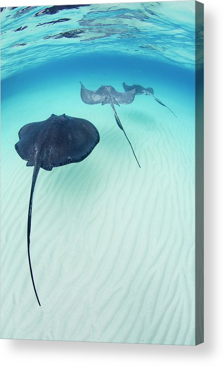 Underwater Acrylic Print featuring the photograph Southern Stingray Cayman Isalnds by Justin Lewis