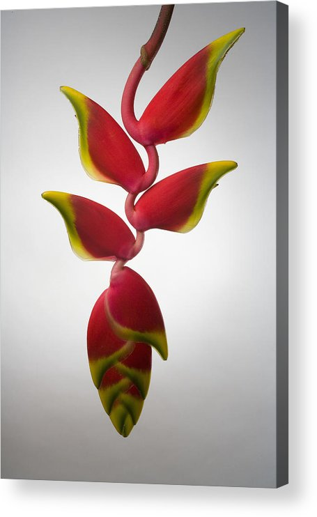Hanging Acrylic Print featuring the photograph Studio Shot Of Hanging Red Lobster Claw by Design Pics/tomas Del Amo