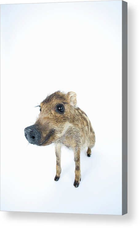 Animal Nose Acrylic Print featuring the photograph Young Wild Boar Sus Scrofa by Yasuhide Fumoto