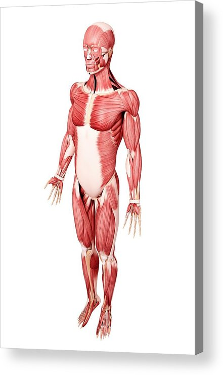 Fibularis Longus Muscle Acrylic Print featuring the photograph Human musculature, computer artwork. by Shubhangi Ganeshrao Kene