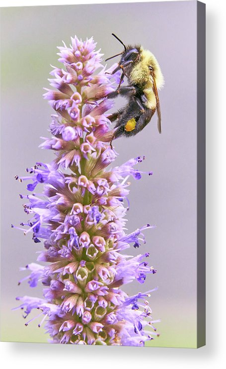 Bumblebee Acrylic Print featuring the photograph Bumblebee on Blue Giant Hyssop by Jim Hughes