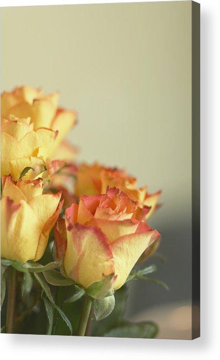 Petal Acrylic Print featuring the photograph Roses by Heidi Coppock-Beard