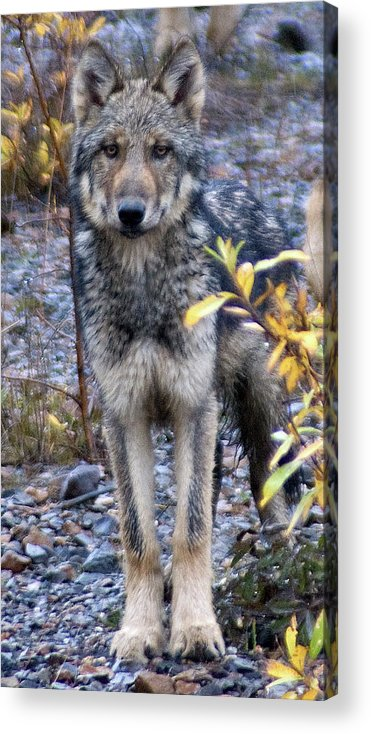 Alaska Acrylic Print featuring the photograph Wolf Cub in Denali by Jim and Kim Shivers