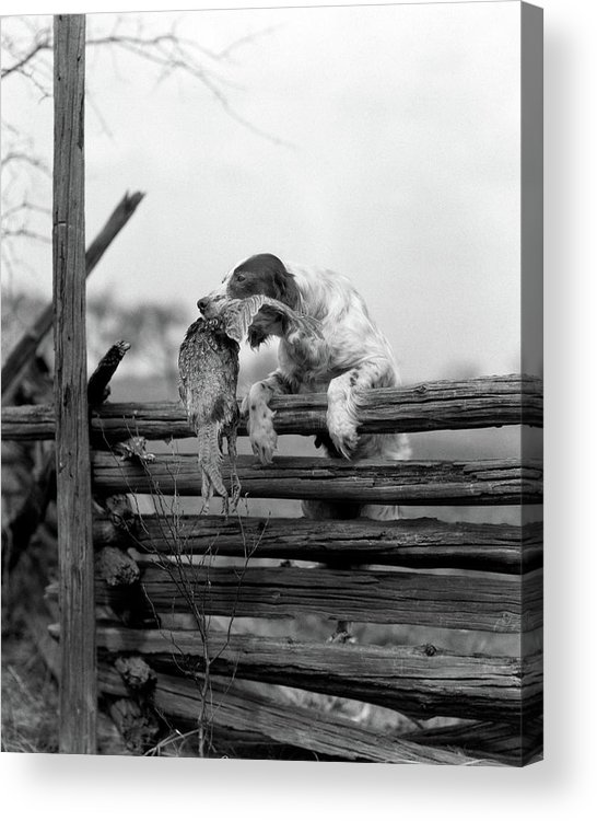 Photography Acrylic Print featuring the photograph 1920s English Setter Dog Climbing by Animal Images