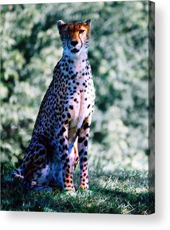 Cheetah Acrylic Print featuring the photograph Cheetah by Steve Karol