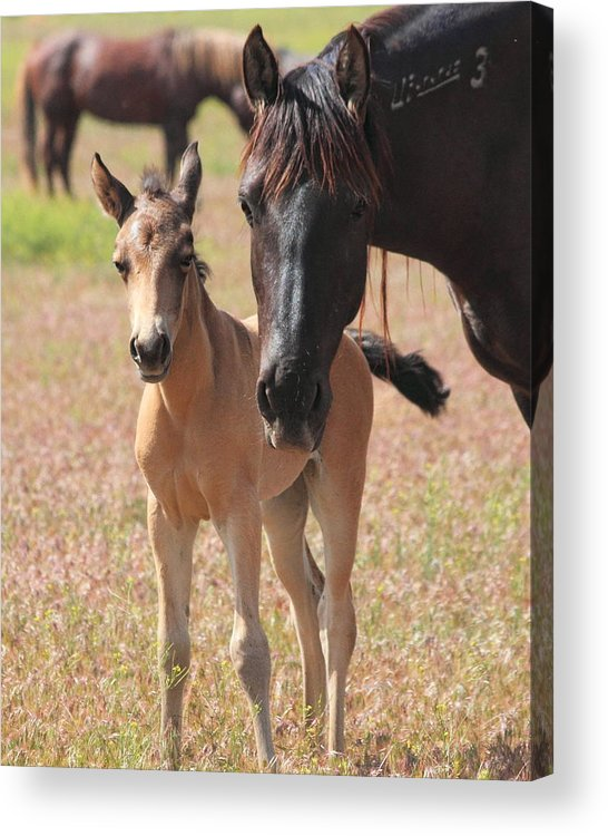 Horse Acrylic Print featuring the photograph Mother's Love by Gene Praag