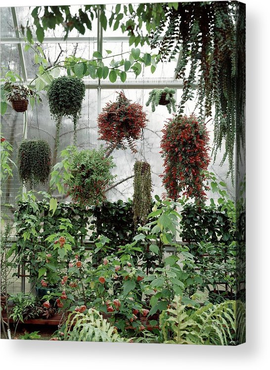 Indoors Acrylic Print featuring the photograph Plants Hanging In A Greenhouse by Wiliam Grigsby