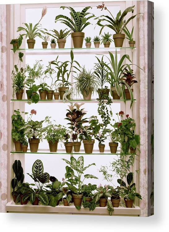 Plants Acrylic Print featuring the photograph Potted Plants On Shelves by Wiliam Grigsby