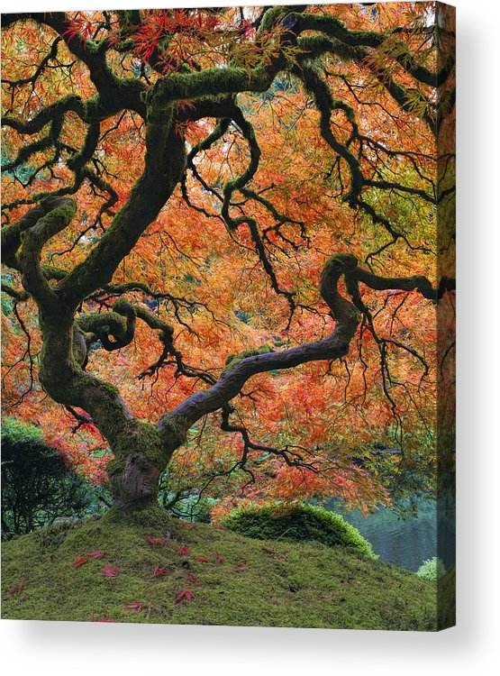 The Maple Tree At Portland Japanese Garden Acrylic Print By David Gn