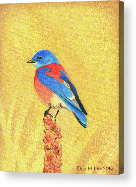 Art Acrylic Print featuring the drawing Western Bluebird by Dan Miller