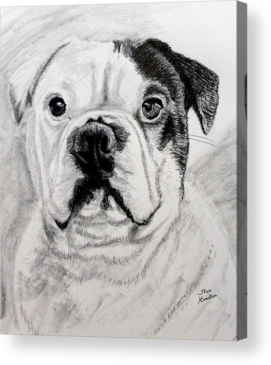 French Acrylic Print featuring the drawing French Bull Dog by Stan Hamilton
