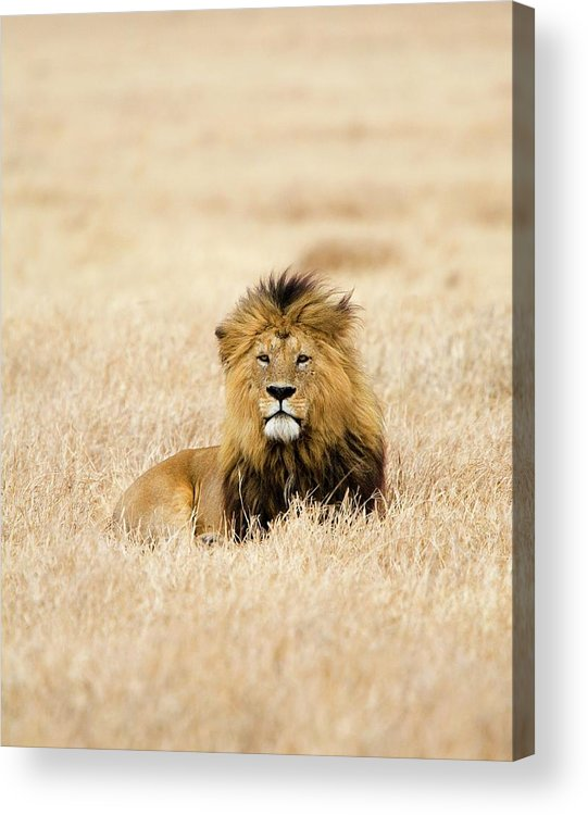 Grass Acrylic Print featuring the photograph A Lion by Sean Russell