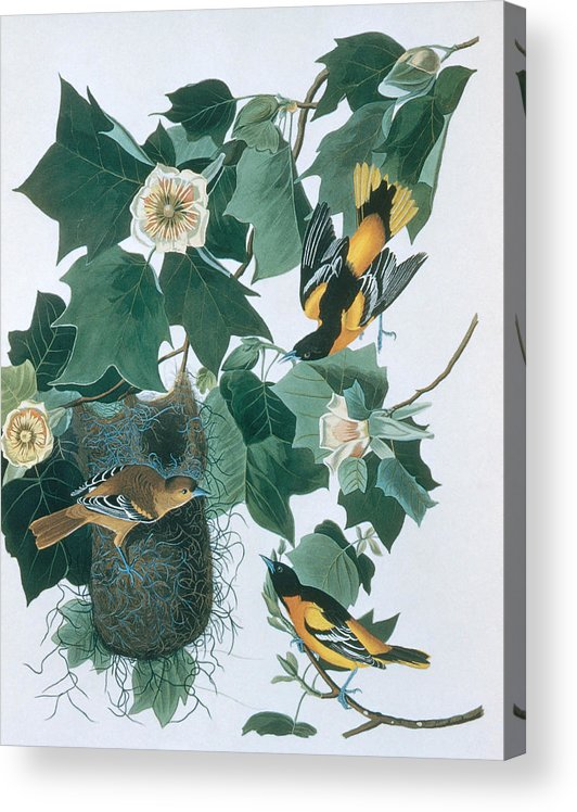 Engraving Acrylic Print featuring the digital art Baltimore Orioles Icterus Galbula by N A S.