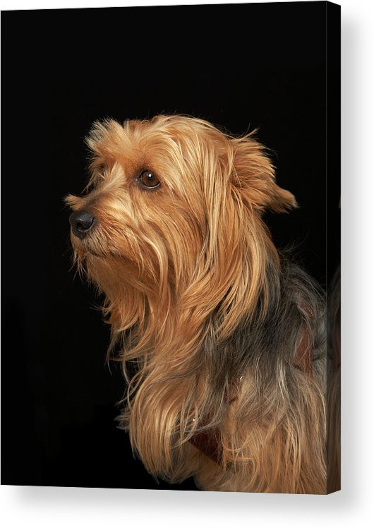 Pets Acrylic Print featuring the photograph Black And Brown Yorkie Left Profile On by M Photo