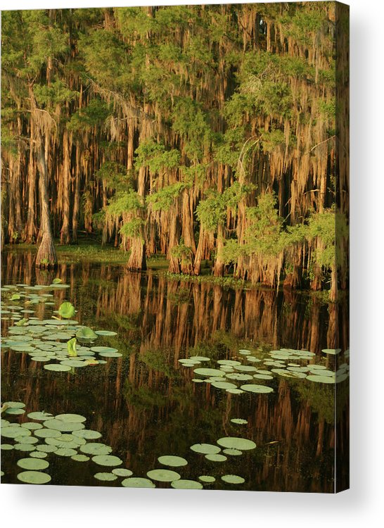 Outdoors Acrylic Print featuring the photograph Cypress In The Lake by Jlfcapture
