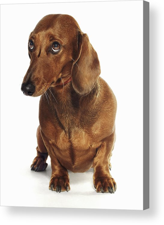 Pets Acrylic Print featuring the photograph Dachshund Looking Up by Gandee Vasan