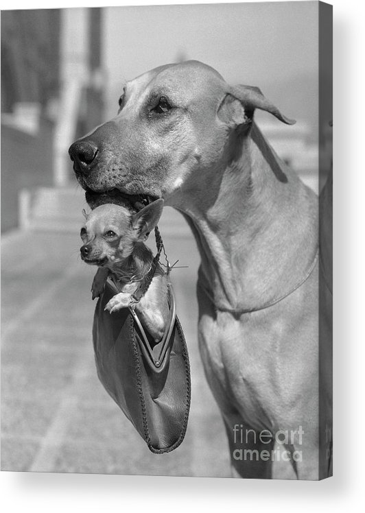 1930-1939 Acrylic Print featuring the photograph Great Dane Holding Chihuahua In Purse by Bettmann