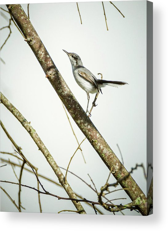 Colombia Acrylic Print featuring the photograph Juvenile Tropical Gnatcatcher El Escobal Ibague Tolima Colombia by Adam Rainoff
