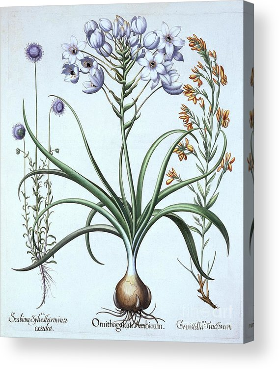 Star Of Bethlehem Acrylic Print featuring the drawing Star Of Bethlehem by Heritage Images