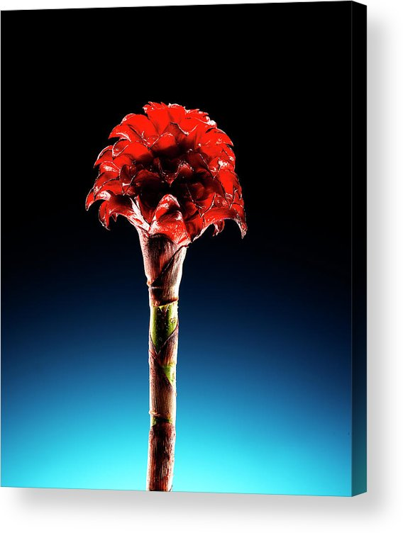 Single Object Acrylic Print featuring the photograph Wax Ginger Flower by Chris Stein