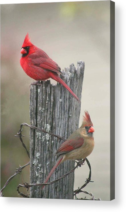 Cardinals Acrylic Print featuring the photograph Pair Of Cards by Robert Camp
