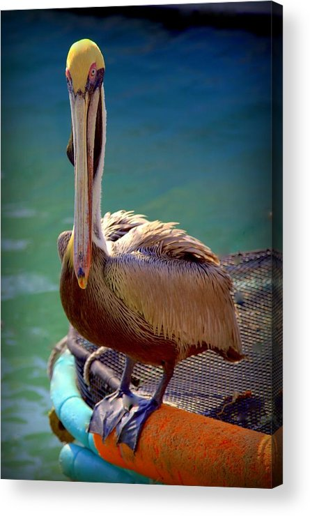 Pelicans Acrylic Print featuring the photograph Rainbow Pelican by Karen Wiles