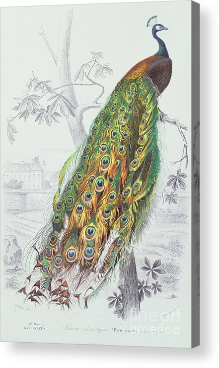 Peacock Acrylic Print featuring the painting The Peacock by A Fournier