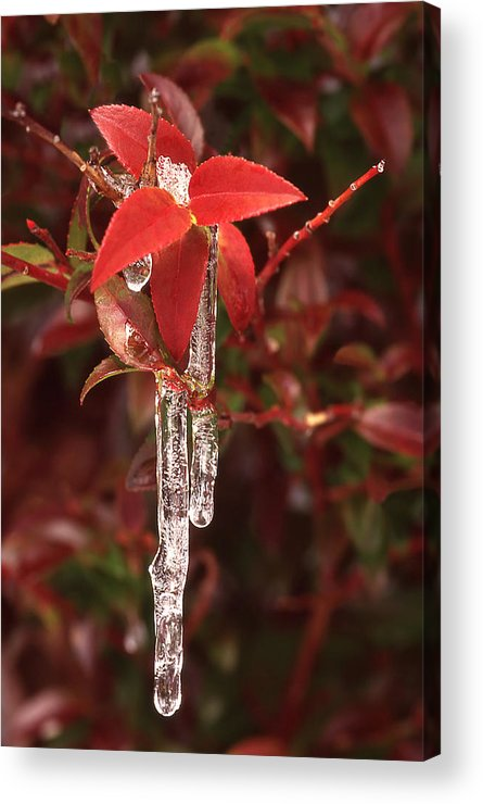 Wild Huckleberry Plant Acrylic Print featuring the photograph Winter Flower by Ginny Barklow