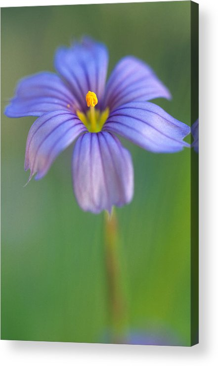 Flowers Acrylic Print featuring the photograph Blue Eyed Grass 2 by Kathy Yates
