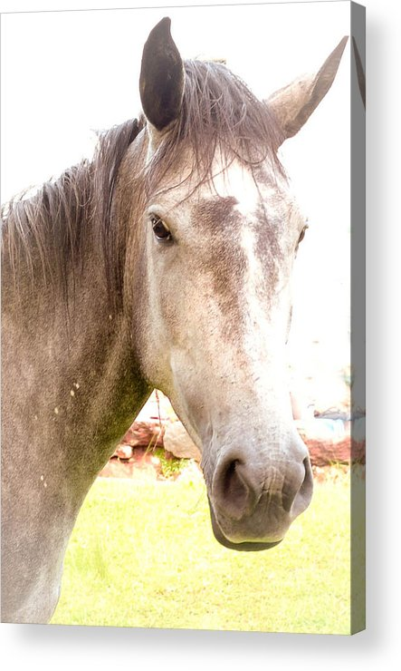 Portrait Picture Of A Horse Grey Of Color. Acrylic Print featuring the photograph Grey Horse by Joris Shaw