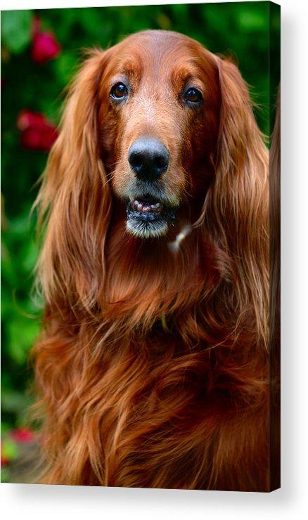 Dog Acrylic Print featuring the photograph Irish Setter I by Jenny Rainbow