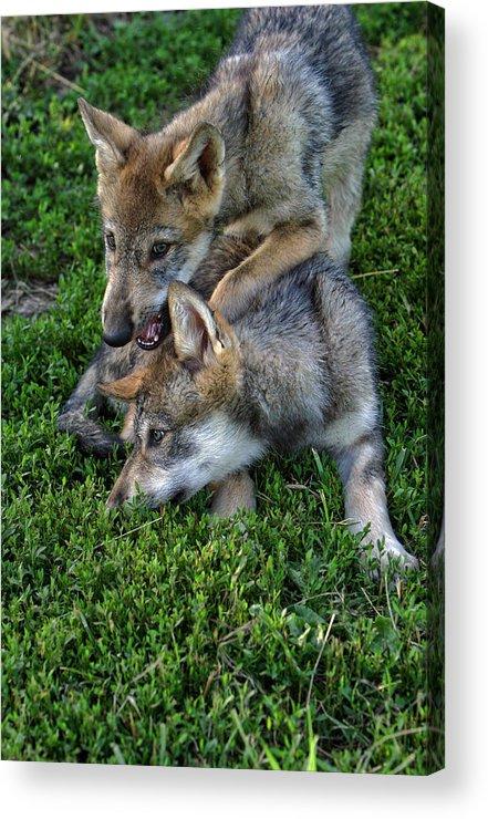 Wolf Acrylic Print featuring the photograph Wolf Play by Shari Jardina