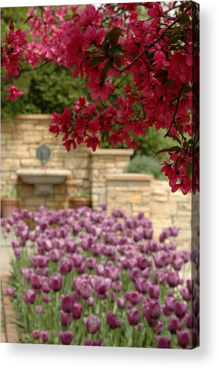 Tulips Acrylic Print featuring the photograph Untitled by Kathy Schumann