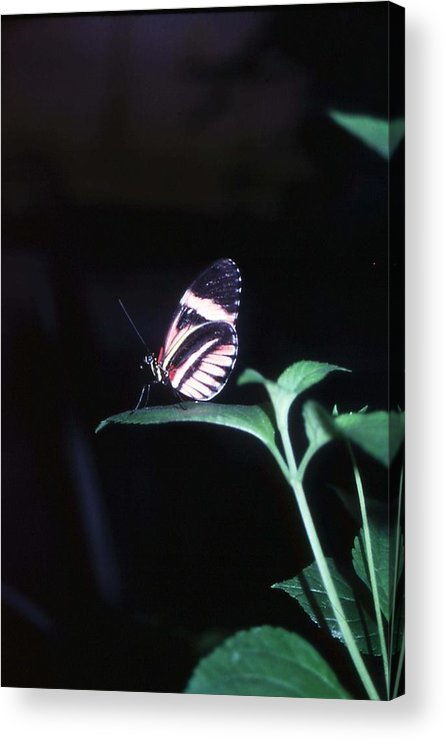 Nature Acrylic Print featuring the photograph Butterfly Portrait by John Power