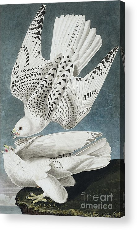 Blue Acrylic Print featuring the painting Iceland Falcon Or Jer Falcon By Audubon by John James Audubon