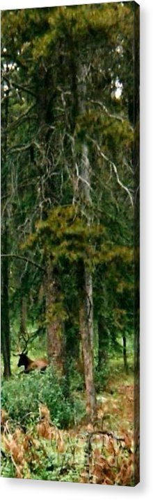 Elk Acrylic Print featuring the photograph An Elk In The Woods by Gail Matthews