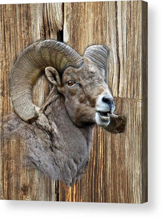 Wildlife Acrylic Print featuring the photograph Bighorn Sheep Barnwood by Steve McKinzie