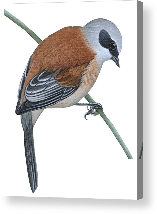 No People; Vertical; Side View; Full Length; One Person; One Animal; Animal Themes; Nature; Wildlife; Beauty In Nature; Simplicity; Uline Tit; Remiz Pendulinus; Twig; Perching Acrylic Print featuring the drawing Penduline Tit by Anonymous