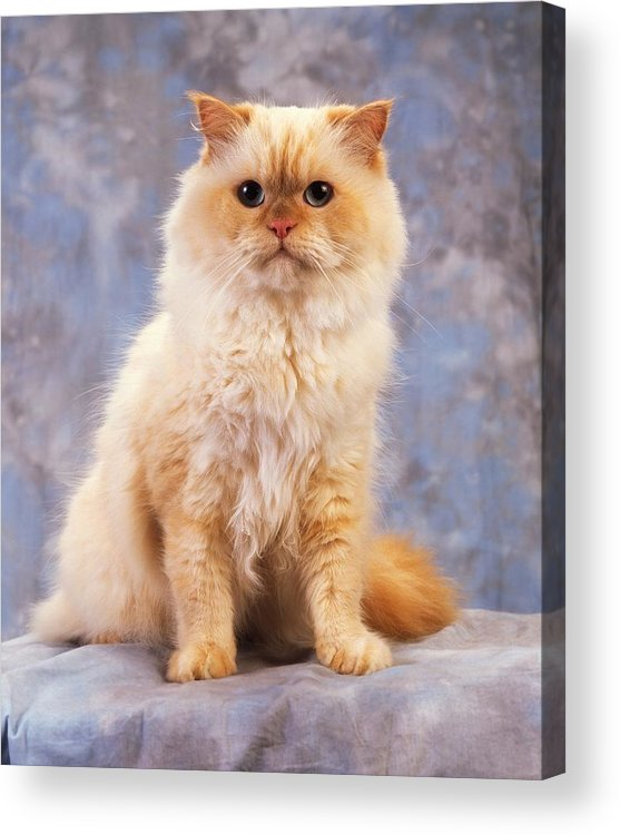 Color Acrylic Print featuring the photograph Cat Portrait Of A Cat by The Irish Image Collection