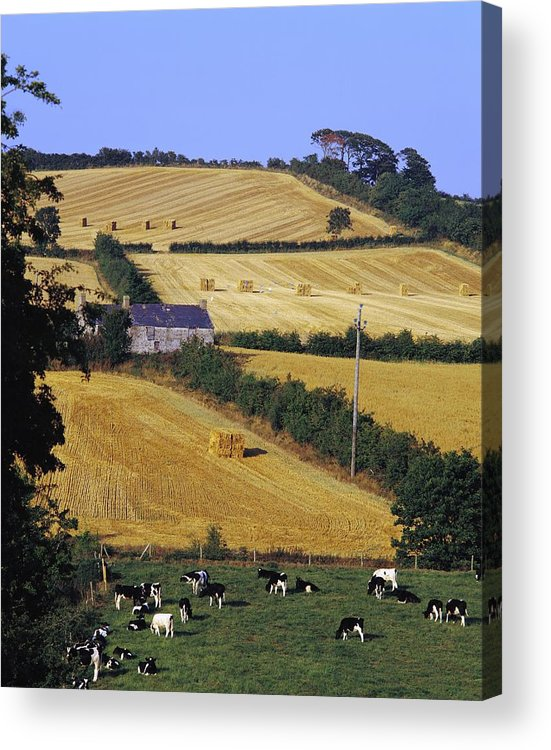 Animal Husbandry Acrylic Print featuring the photograph Friesian Cattle by The Irish Image Collection