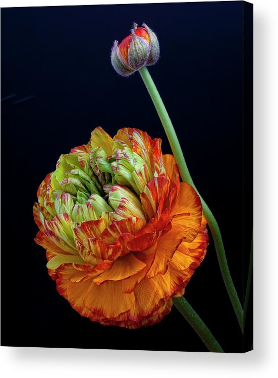 Fine Art Acrylic Print featuring the photograph A Many Splendored Thing by Robert Ullmann